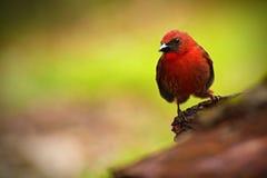 Röd-throated Myra-Tanager, Habia fuscicauda, röd vändkretssångfågel i naturlivsmiljön, San Ignacio, Belize Royaltyfria Foton