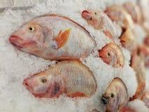 Röd tilapia på fisk stannar på krossad is i supermarket fotografering för bildbyråer