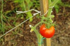 Röd tomat på en växt Arkivbilder