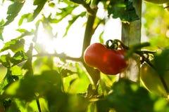 Röd tomat på grönt träd på solnedgången som är utomhus- i koloni Arkivfoton
