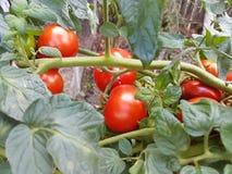 Röd tomat på växt arkivfoton