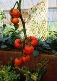 Röd tomat som växer i organisk lantgård Arkivbilder