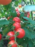 Röd tomatväxt Royaltyfri Bild