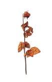 Röd torkad ros som isoleras på vit bakgrund Royaltyfria Foton