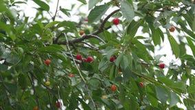 Röd trädfilial för sur körsbär med par av smaklig frukt på filialer och frukt för körsbärsrött träd för närbild för vind 4K stock video