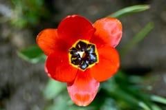 Röd trädgårdblomma med den stora härliga röda kronbladcloseupen royaltyfri foto