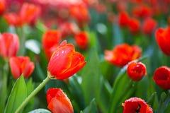 Röd trädgårds- tulpan Fotografering för Bildbyråer