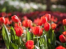 Röd trädgårds- tulpan Royaltyfri Foto