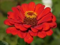 Röd trädgårds- Zinnia Royaltyfri Foto