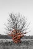Röd trädsvart & vit Arkivfoto