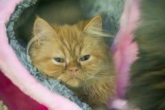 Röd trött katt Royaltyfria Bilder