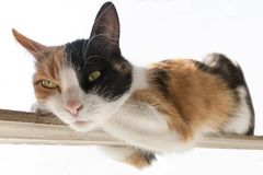 röd Tre-färg, svart vit katt ligger på en smal pinne Vit bakgrund Royaltyfri Bild