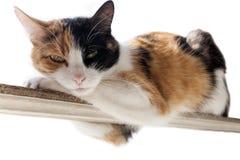 röd Tre-färg, svart vit katt ligger på en smal pinne Vit bakgrund Royaltyfria Bilder
