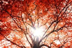 Röd tree. Arkivbild