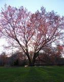 röd tree Arkivfoto