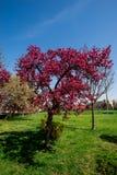röd tree Royaltyfria Bilder