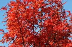 röd tree Arkivbilder