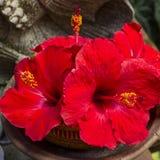 Röd tropisk blommahibiskus Arkivbilder