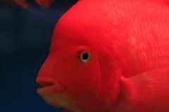 Röd tropisk fisk Fotografering för Bildbyråer