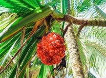 Röd tropisk frukt på träd gömma i handflatan i Sri Lanka royaltyfria bilder
