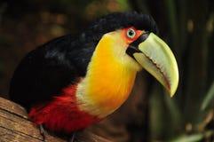 Röd tukan i mest forrest Brasilien Arkivbild