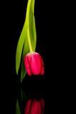 Röd tulpan över det svarta glass skrivbordet Royaltyfri Fotografi
