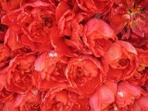 röd tulpan Fotografering för Bildbyråer