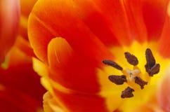Röd tulpan. Royaltyfria Foton