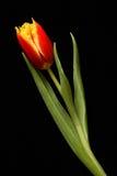 röd tulpan Royaltyfria Bilder