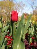 Röd tulpan Royaltyfri Bild