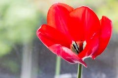 Röd tulpan Arkivfoton