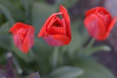 Röd tulpan Arkivfoto