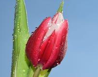 Röd tulpan Royaltyfri Foto