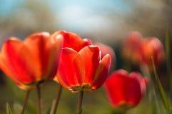 Röd tulpan Royaltyfria Foton