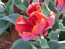 Röd tulpan Royaltyfri Fotografi