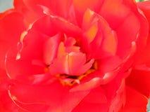 röd tulpan för tät blomma upp Royaltyfria Bilder