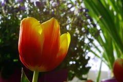 röd tulpan för tät blomma upp Arkivfoton