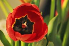 röd tulpan för tät blomma upp Arkivbild