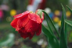 Röd tulpan i droppar av regn Arkivfoto