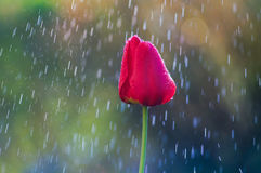 Röd tulpan i droppar av regn för vatten på våren arkivbild