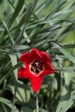 Röd tulpan i trädgården Royaltyfria Foton