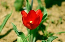 Röd tulpan i trädgården royaltyfri foto
