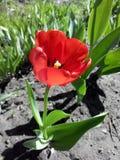 Röd tulpan i trädgården Arkivfoto