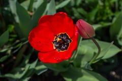 Röd tulpan med daggdroppar Royaltyfri Bild