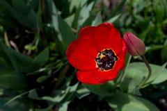 Röd tulpan med daggdroppar Royaltyfria Bilder