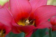 Röd tulpan med detaljer Arkivbild
