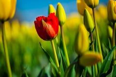 Röd tulpan med gula tulpan i bakgrunden mot blå himmel Arkivbild