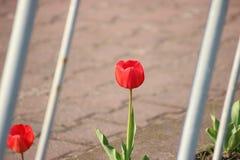 Röd tulpan nära staketet vårbevekelsegrunder första blommor arkivfoto