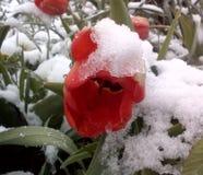 Röd tulpan och snö Royaltyfri Fotografi