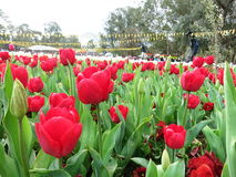 Röd tulpan på blommafestivalen Royaltyfria Bilder